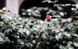 咲き始めのサザンカ - 柿沼浩ニ