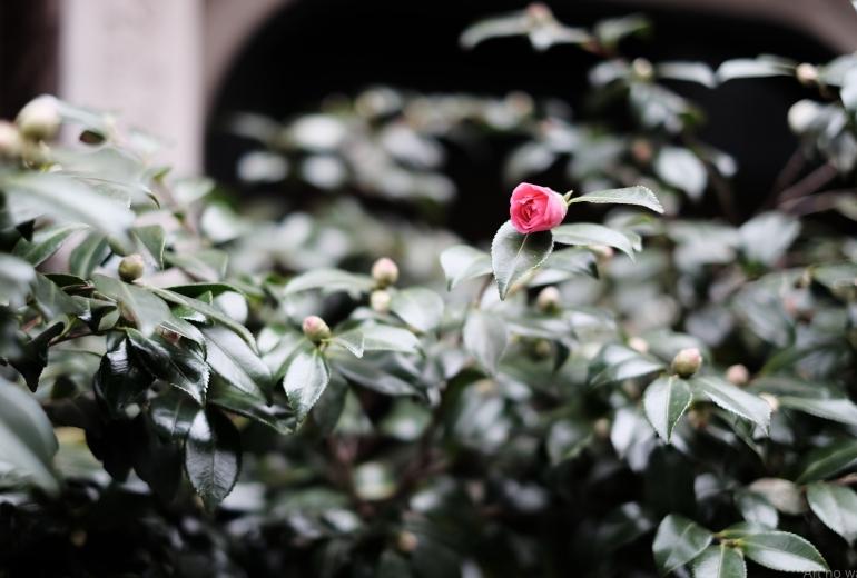 咲き始めのサザンカ