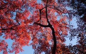 紅葉 - 柿沼浩ニ