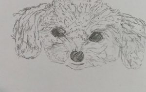 A toy poodle - Yugo