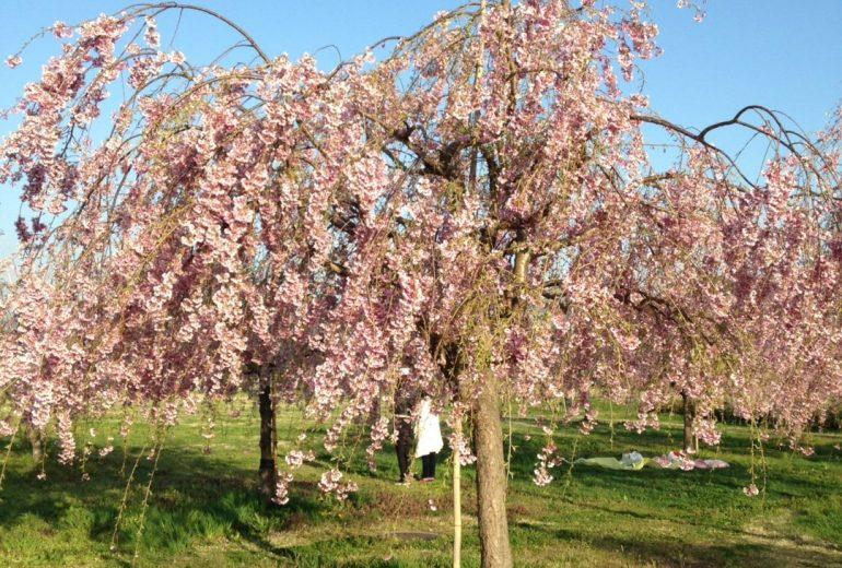 桜の下でまた会おうね