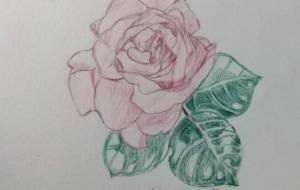 バラ - 繭
